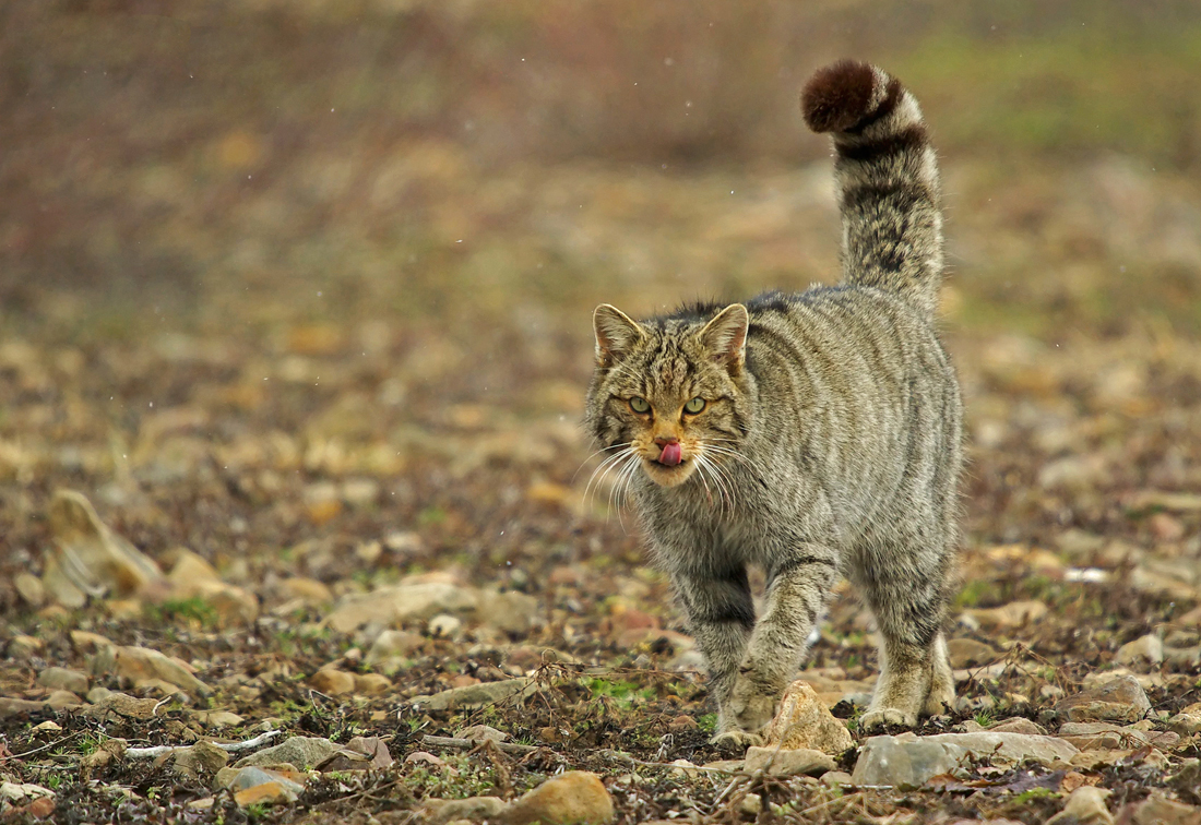 Wildcat observation in Picos de Europa ( Spain ...