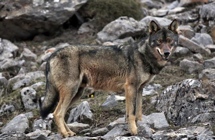 Wolf Amp Bio Project Wildwatching Spain