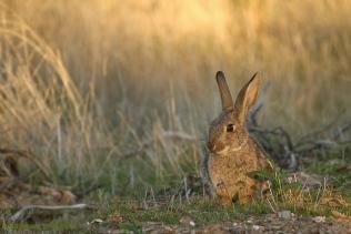 Conejo hide corzos _MG_7925