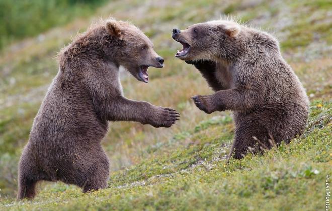 pelea osos